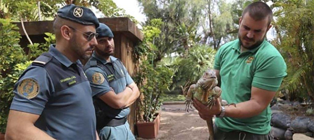 Гражданская гвардия передала спасенную от безнадзорности игуану в Oasis Park Fuerteventura