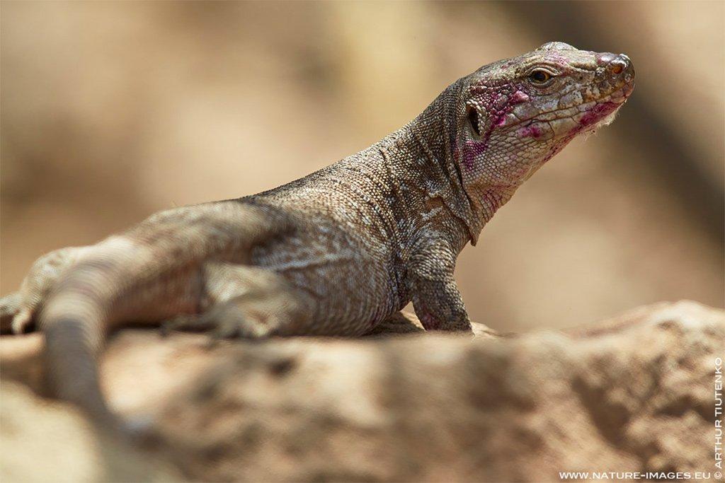 Приведен в действие план по восстановлению популяции гигантской ящерицы с Тенерифе
