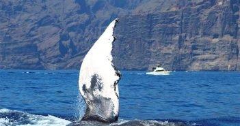 Ветеринары помогают в водах юга острова Тенерифе горбатому киту с проблемами со здоровьем