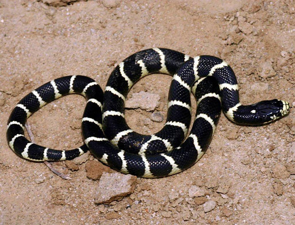 Калифорнийская змея обнаружена на Тенерифе