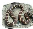 Калифорнийская змея чувствует себя вольготно на острове Гран Канария