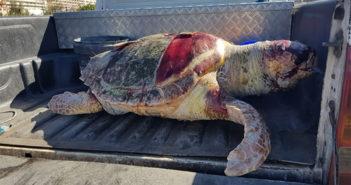 Palm-Mar: обнаружена мёртвой головастая черепаха весом в 88 кг